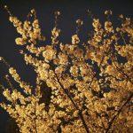 お花見デートで夜桜を見にいくときの服装と必需品をご紹介!